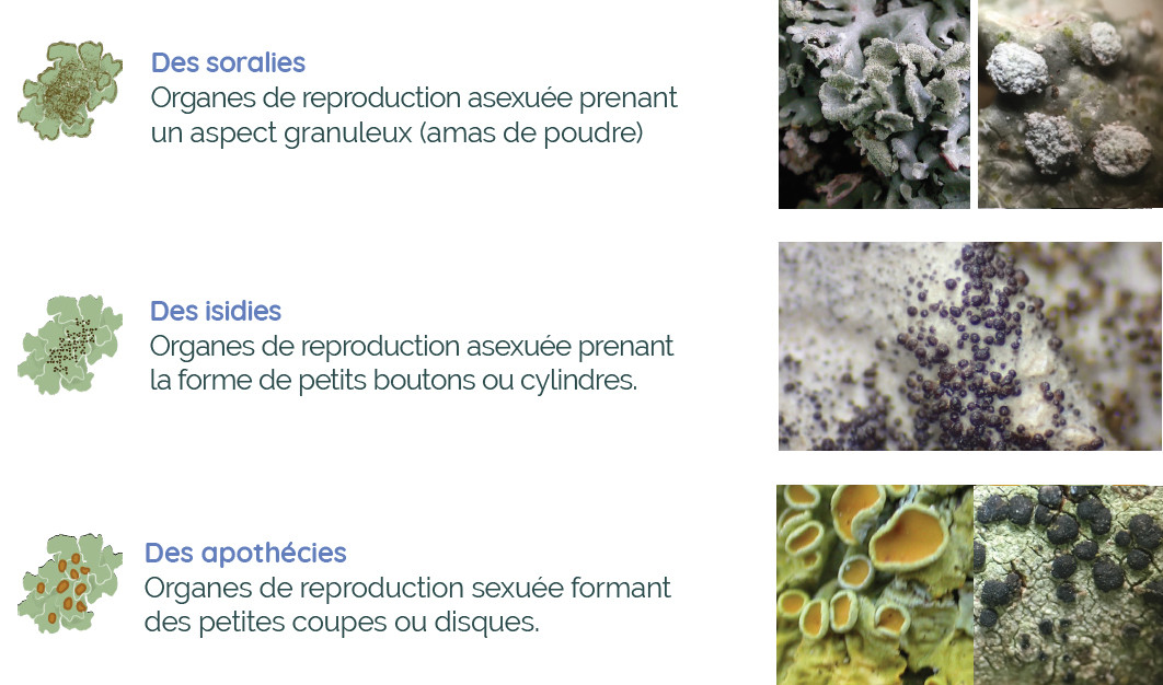 Anatomie d'un lichen : les structures de reproduction